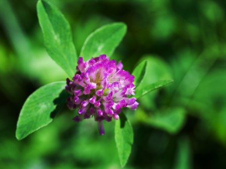 Red clover close up