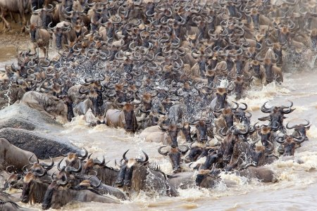 Wildebeest (Connochaetes taurinus) migration at th...