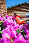 Protecting azalea plant from fungal disease