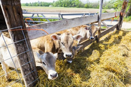 Brown Young Cows