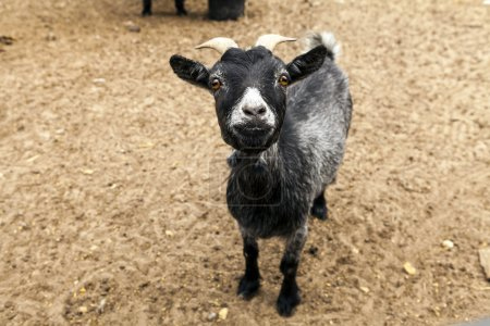 Black Funny Goat