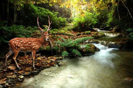 Photo pour Ruisseau tropical et cerf sika - image libre de droit