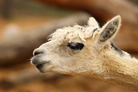 Portrait of an Alpaca...