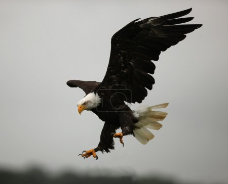 Close up of a Bald Eagle in flight showing his cla...