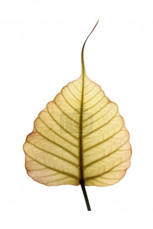 Photo for Heart shaped peepal or pipal tree leaf isolated on white with clipping path. The new & fresh leaf shows network on veins illuminated by sunlight from the backside - Royalty Free Image
