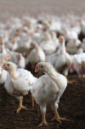 Photo pour Jeune poule blanche regardant caméra dans une ferme de volailles de poulet dans un hangar intérieur abritant des centaines de poussins élevés pour la viande - image libre de droit