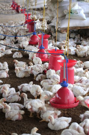 Poultry farm with young white chicken being bred for meat