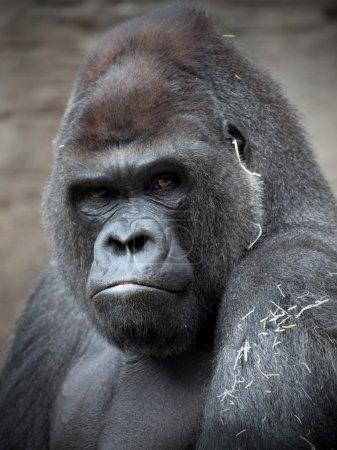 Photo pour Portrait d'un argent de gorille retour - image libre de droit