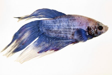 Photo for Picture of a beautiful asian fighter fish - Royalty Free Image