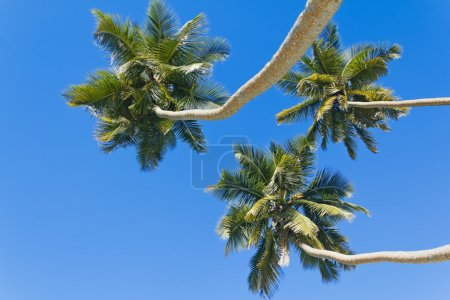 Three palm trees against the blue sky