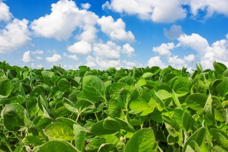 Photo for Landscape with field of young soybean plants and blue sky - Royalty Free Image