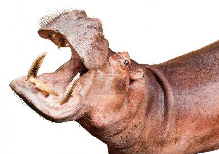 Photo pour Hippopotame isolé sur fond blanc - image libre de droit