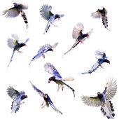 formosa blue magpie