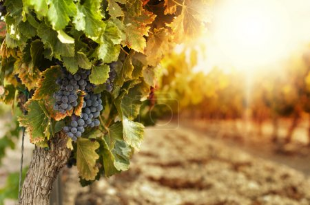 Photo for Vineyards at sunset in autumn harvest. Ripe grapes in fall.Cluster grapes on left - Royalty Free Image