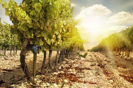 Vineyards at sunset in autumn harvest. Ripe grapes...