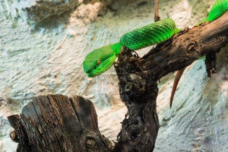 grüne Schlange kriecht auf Baum