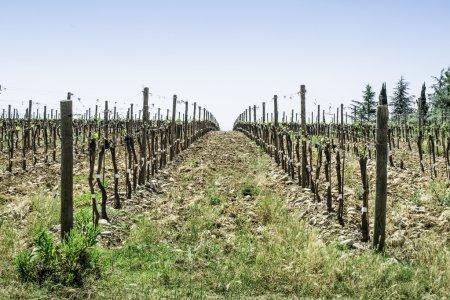 vignobles en herbe