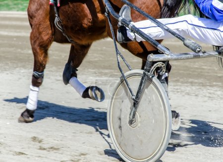 Harness racing. Racing horse harnessed to lightweight strollers.