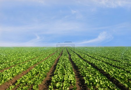 Photo for Lush agricultural field of lettuce on a bright sunny day - Royalty Free Image