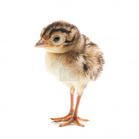 Small funny chick pheasant, isolated