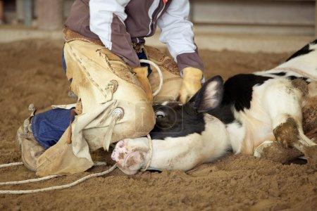 Cowboy lassoing cow
