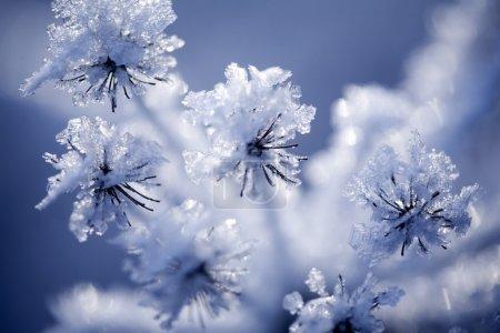 Photo pour Gros plan de la fleur couverte de glace et de neige - image libre de droit