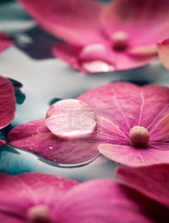 Photo pour Gros plan de fleurs d'hortensia rose flottant dans l'eau - image libre de droit