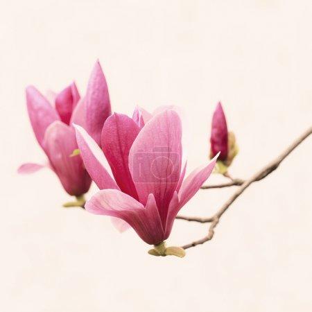 Photo pour Gros plan magnolia sur fond blanc - image libre de droit