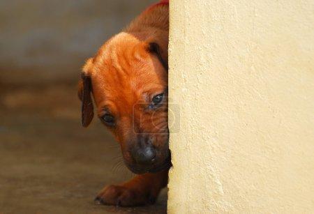 Puppy looking around corner