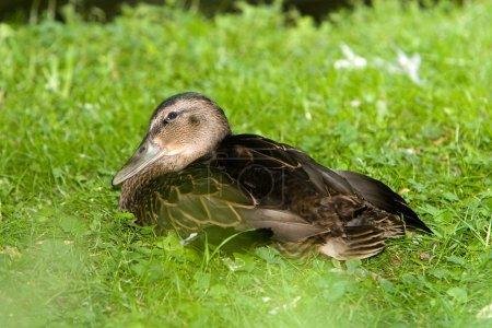Duck on grass