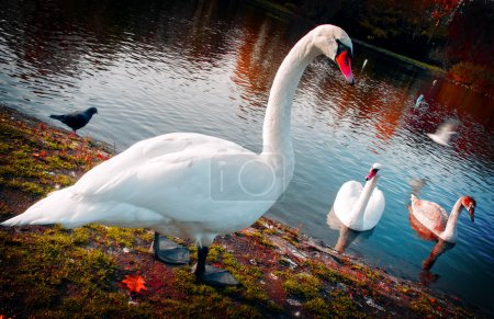 Photo for Graceful family of swans - Royalty Free Image