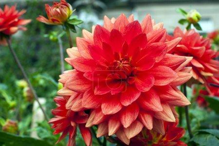 Dahlias in a garden