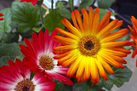 Gergera daisies.