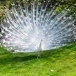 White peacock with flowing tail...