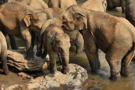Familie indischer Elefanten