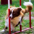 Agility dog with a red border collie...