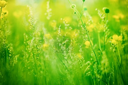 Photo for Grass in focus yellow flowers out of focus - Royalty Free Image