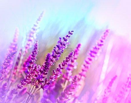 Photo pour Fleurs violettes, éclairées par la lumière du soleil - image libre de droit