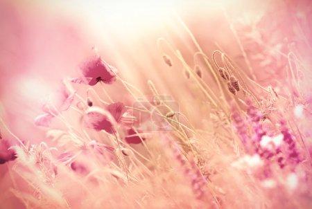 Wild poppy flower in the meadow