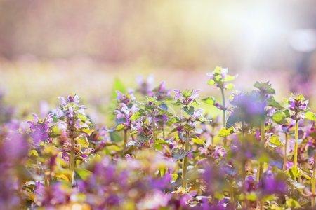 Foto de Hermoso prado flores suavemente púrpuras en primavera - Imagen libre de derechos