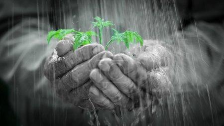Photo pour Des mains humaines tenant une jeune plante sous la pluie. Concept d'écologie - image libre de droit