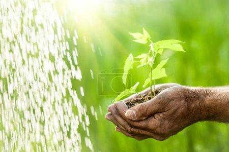 Photo pour Vieil homme mains tenant une jeune plante verte sous la pluie sur fond d'herbe printanière - image libre de droit