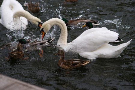 The Fight For Bread. Swans and ducks fight for bread in a pond