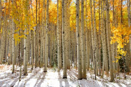 Photo for Aspen trees in the snow in early winter time - Royalty Free Image
