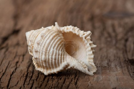Sea shell on wooden board