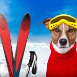 Winter dog ski snow...
