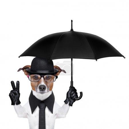 Photo pour Chien britannique avec chapeau melon noir et costume noir tenant un parapluie - image libre de droit