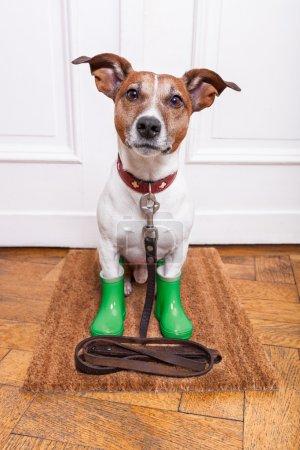 Photo pour Chien avec des bottes de pluie en caoutchouc vert attendant d'aller promenades sous la pluie et le froid - image libre de droit
