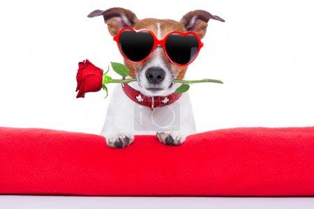 Photo pour Saint Valentin chien tenant une rose dans sa bouche - image libre de droit