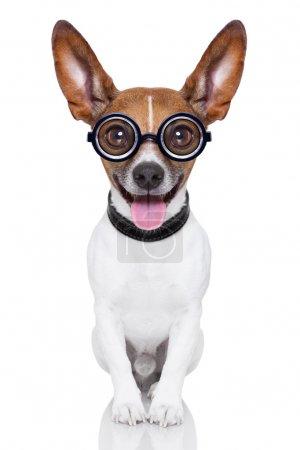 Photo pour Fou chien stupide avec des lunettes drôles montrant la langue corps plein - image libre de droit
